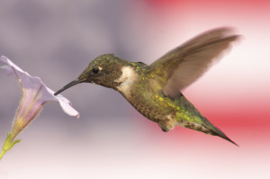 Hummingbird With Flag Background